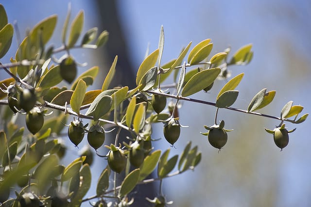 jojoba seeds on a jojoba bush