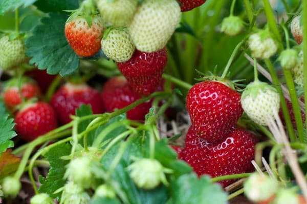 Did you know about the great amount of pesticides on strawberries? You might never eat conventional strawberries again.