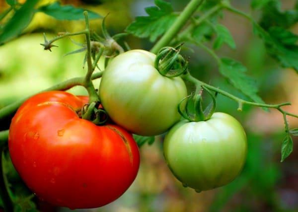 Seasoned Homemade Sun Dried Tomatoes