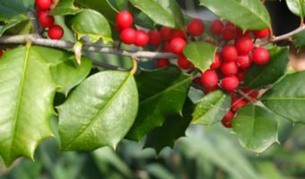 Christmas How to Be Healthy Holly