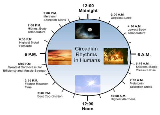 A chart of the Circadian Rhythym