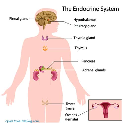 endocrine system diagram