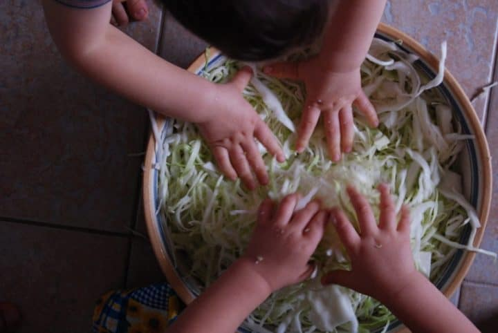 kids kneading shredded cabbage for homemade sauerkraut