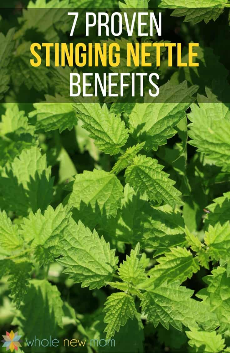 Nettle isn't typically a plant that gardeners or homeowners want around, but there are so many proven stinging nettle benefits for health, you're sure to change your mind about it!