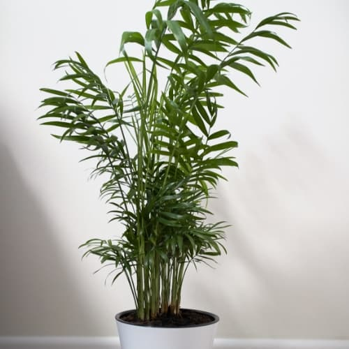 Bamboo Palm (Chamaedorea seifrizii) in white pot