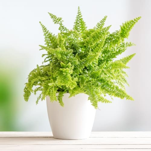 Boston Ferns (Nephrolepis exaltata) in white pot