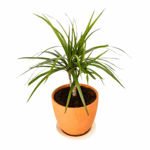 Dragon Tree (Dracaena marginata) in terra cotta pot