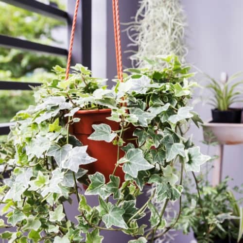 English Ivy (Hedera helix) in hanging pot