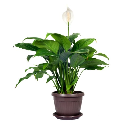 Peace Lilies (Spathiphyllum 'Mauno Loa') in brown pot