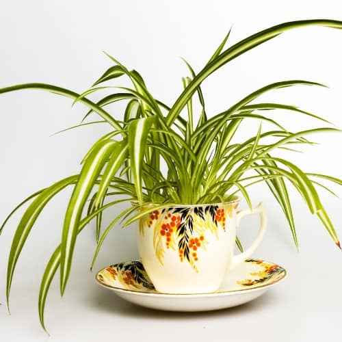 spider plant (Chlorophytum elatum) in colorful teacup on saucer