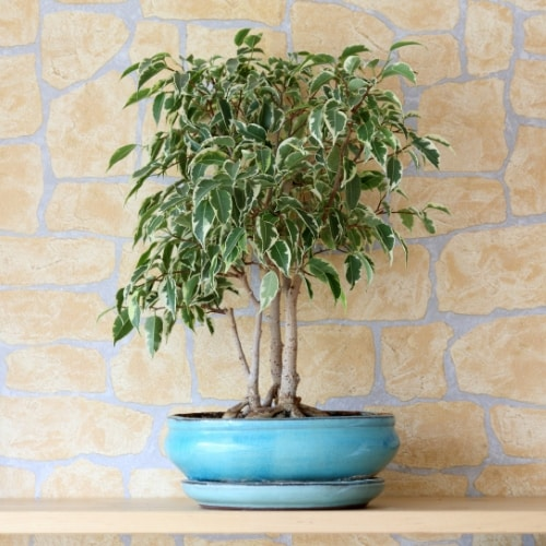 Weeping ficus (Ficus benjamina) in blue pot