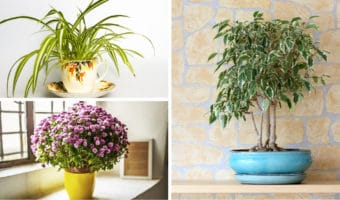collage of air purifying plants including ficus, mums, and spider plant