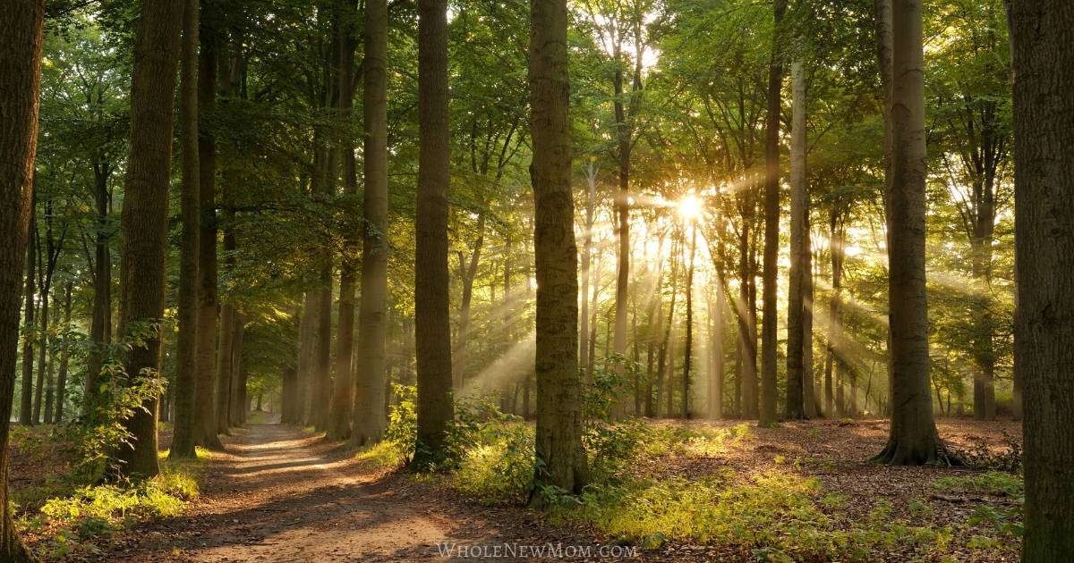 forest scene with sunlight shining through and a path through the forest