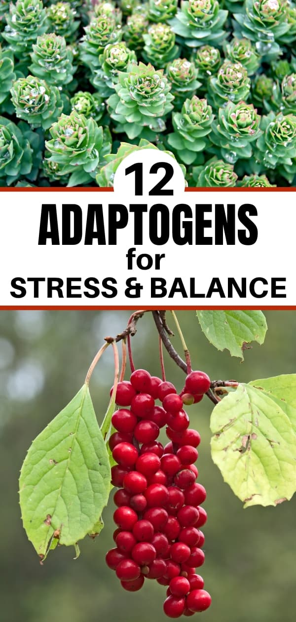 maca and schisandra berries for post about what are adaptogens
