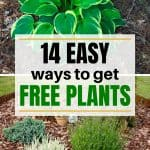 hostas, lavender, and decorative grass in mulch for post about how to get free plants