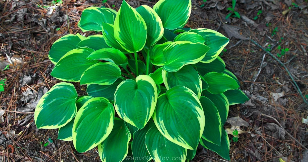 hostas in mulch for post about how to get free plants