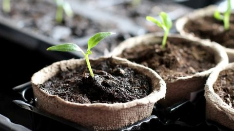 seedlings growing in biodegradable pots for how to start seeds indoors post
