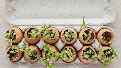 seeds growing in eggshells