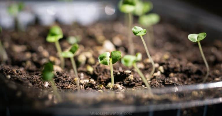 seedlings being grown in a grow tray