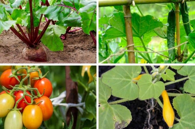 collage of cherry tomatoes, beets, squash and cucumbers