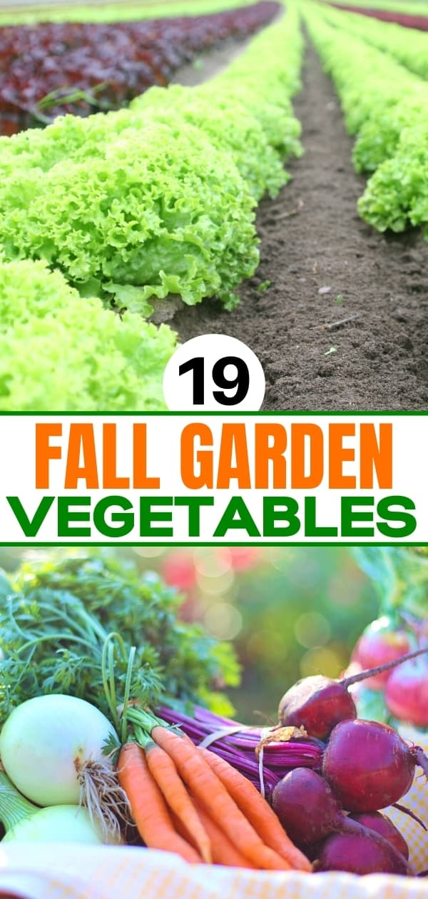 collage of lettuce in garden photo and beets, carrots, and onions for fall vegetable garden post