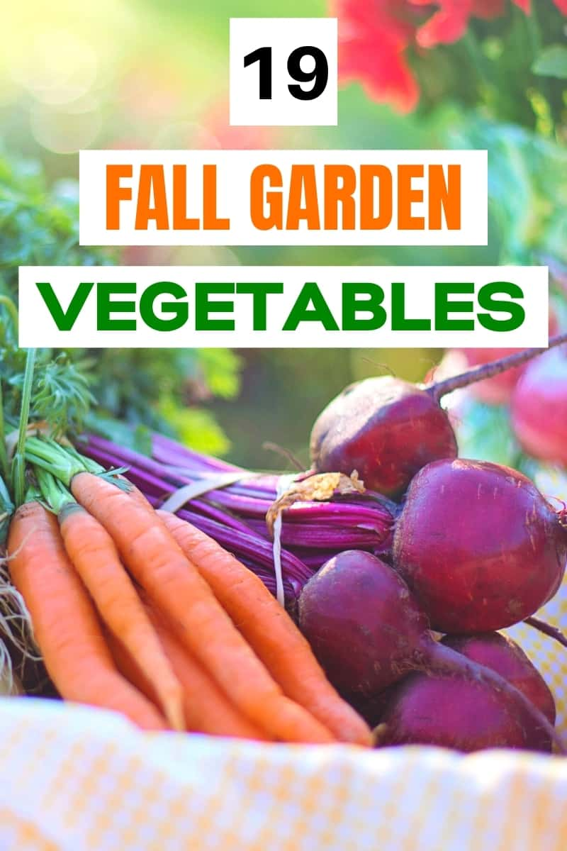 bunch of red beets and bunch of carrots for post about fall vegetable garden