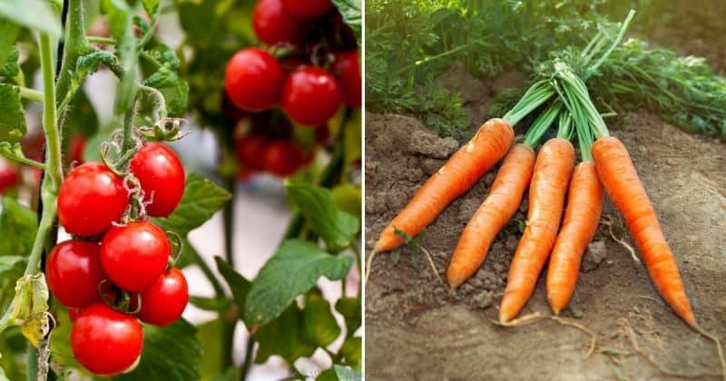collage of cherry tomatoes and carrots