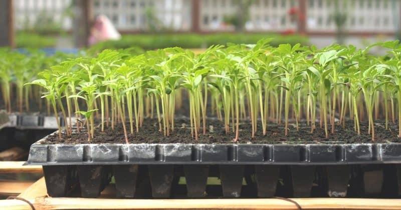 seedlings in a black seedling tray