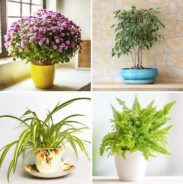 collage of four air purifying plants