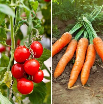 collage of tomatoes and carrots