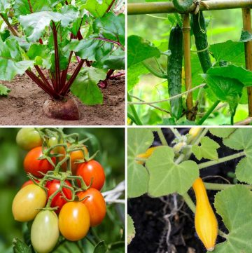 collage of radish, tomatoes, cucumber and zucchini plants