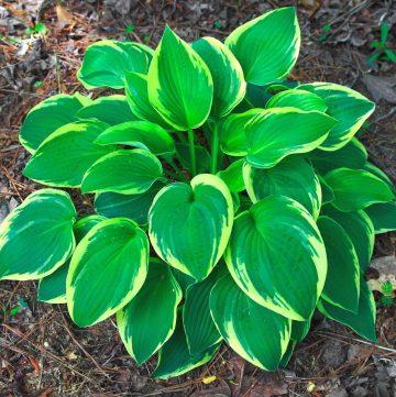 hostas plant