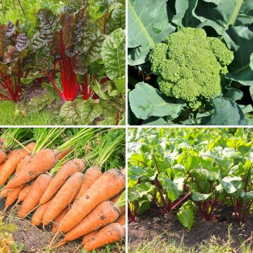 collage of four partial shade vegetables