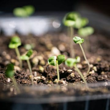 several sprouts in soil